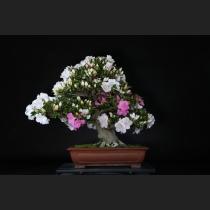 サツキ「一生の春」約70年