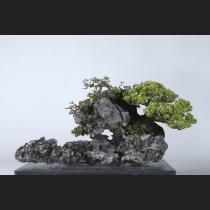 五葉松〔明星〕石付 約40年
