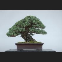 五葉松 約100年