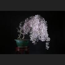 枝垂れ桜 約25年