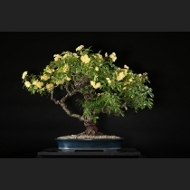 黄木香バラ 約80年