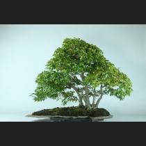 イワシデ寄植え 約60年
