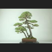 五葉松三幹 約150年