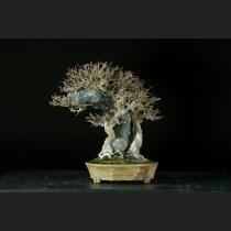 楓石付  約50年