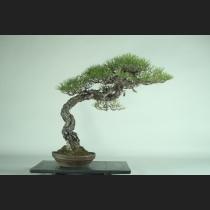 赤松  約120年
