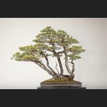 五葉松  約150年