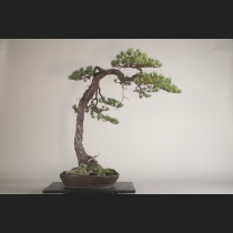 五葉松  約120年