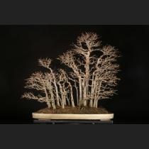 楓寄せ植え 約50年