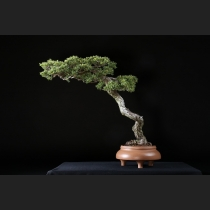 五葉松(那須娘)約70年