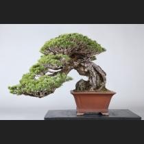 五葉松石付 約100年