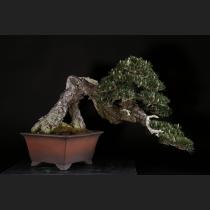 黒松「寿」 約120年