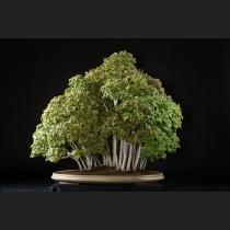 楓寄せ植え 約60年