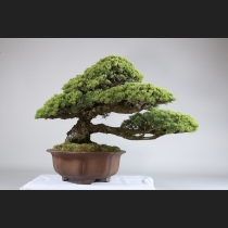 五葉松(那須娘)約60年