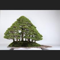 津山ヒノキ寄植  約60年