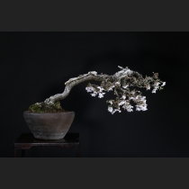 富士桜  約70年
