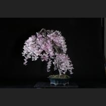 枝垂れ桜(富士桜一重咲)約20年