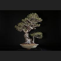 花梨 約120年