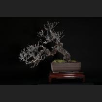野梅(米良性)約80年