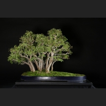 楓寄植え 約60年