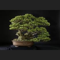 五葉松(宝来)約150年