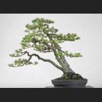 五葉松三幹 樹齢約120年