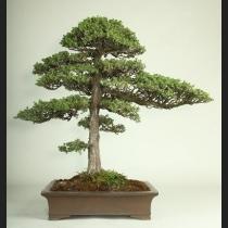 杜松 樹齢約40年