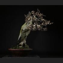 野梅(白色一重) 樹齢約100年