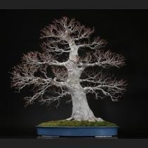 ブナ 樹齢約80年