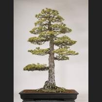 五葉松 樹齢約150年