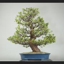 花梨 樹齢約 60年