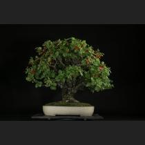 ゆすら梅 樹齢約60年