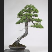 五葉松 樹齢約100年