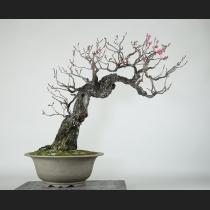 緋梅 樹齢約年100年