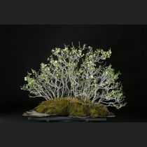 白長寿梅根連石付 樹齢約50年