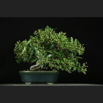 ピラカンサ 樹齢約25年