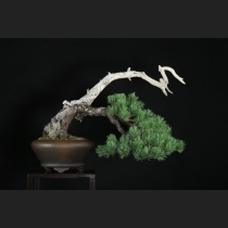 五葉松山採り 樹齢約80年