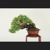 五葉松 樹齢約50年
