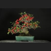 梅モドキ 樹齢約45年