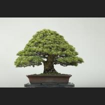 五葉松 約80年