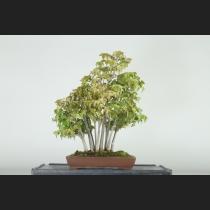 楓寄植え  約25年
