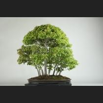 楓寄植え  約40年