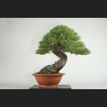 赤松 約150年