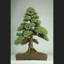 杜松 樹齢約60年